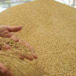 Запас зерна в Республике будет!